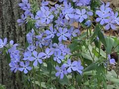 Blue Woodland Phlox