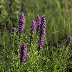 Dotted Blazing Star