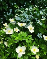 Meadow Anemone
